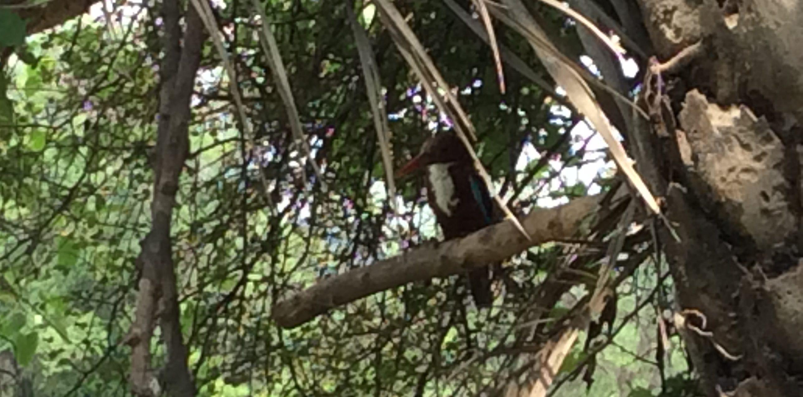 Eine maue Aufnahme eine Eisvogels, einer von vielen Kingfishers, die wir gesehen haben.