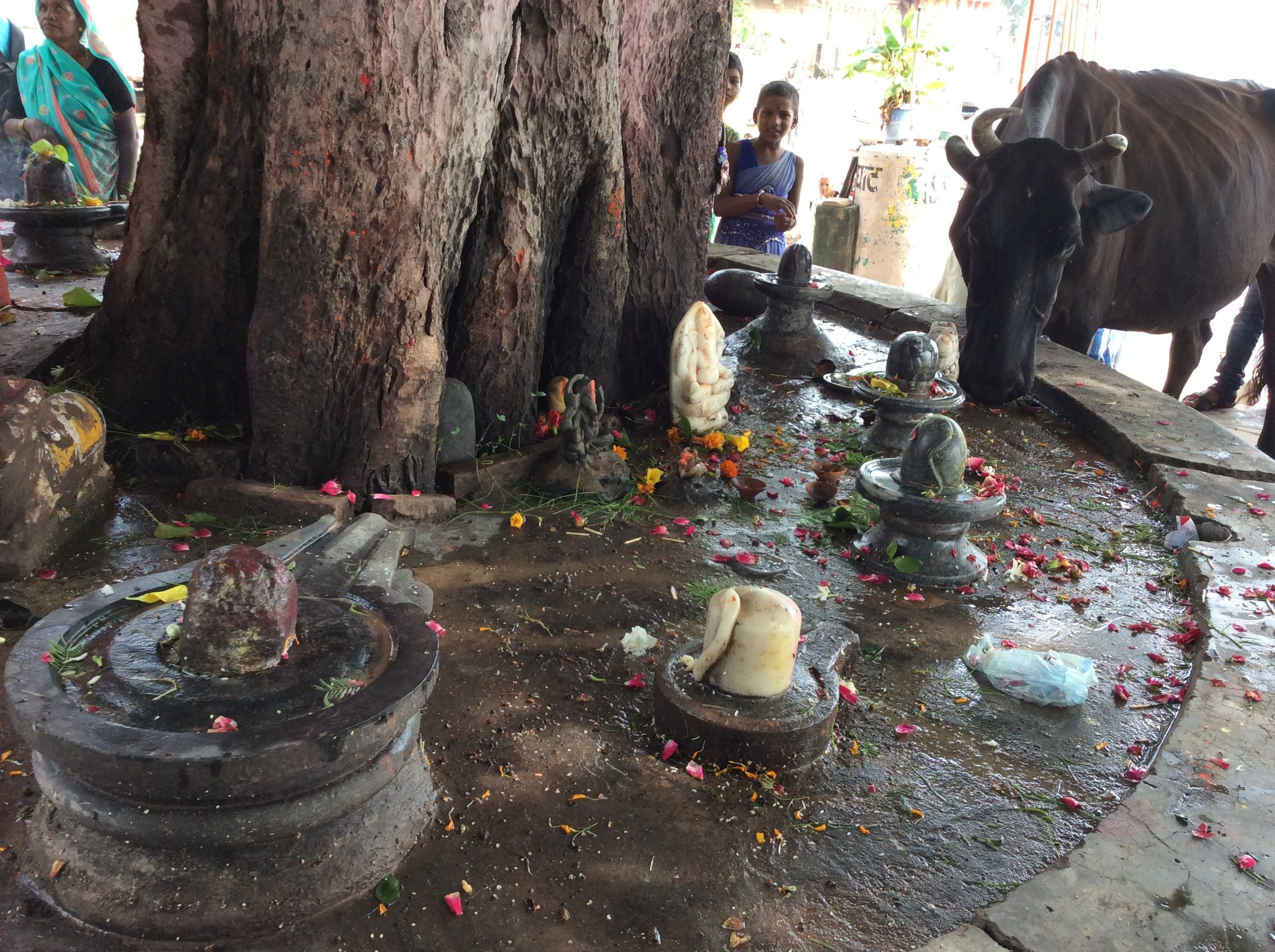 ...frisst die Opferblüten von den Lingams. Da sind sie wieder. Der untere Teil steht für die Schöpfung, die stilisierte Vagina darauf für die Erde und der Phallus darauf für Shiva-das Leben ...gleich von der Kuh blankgeleckt:)