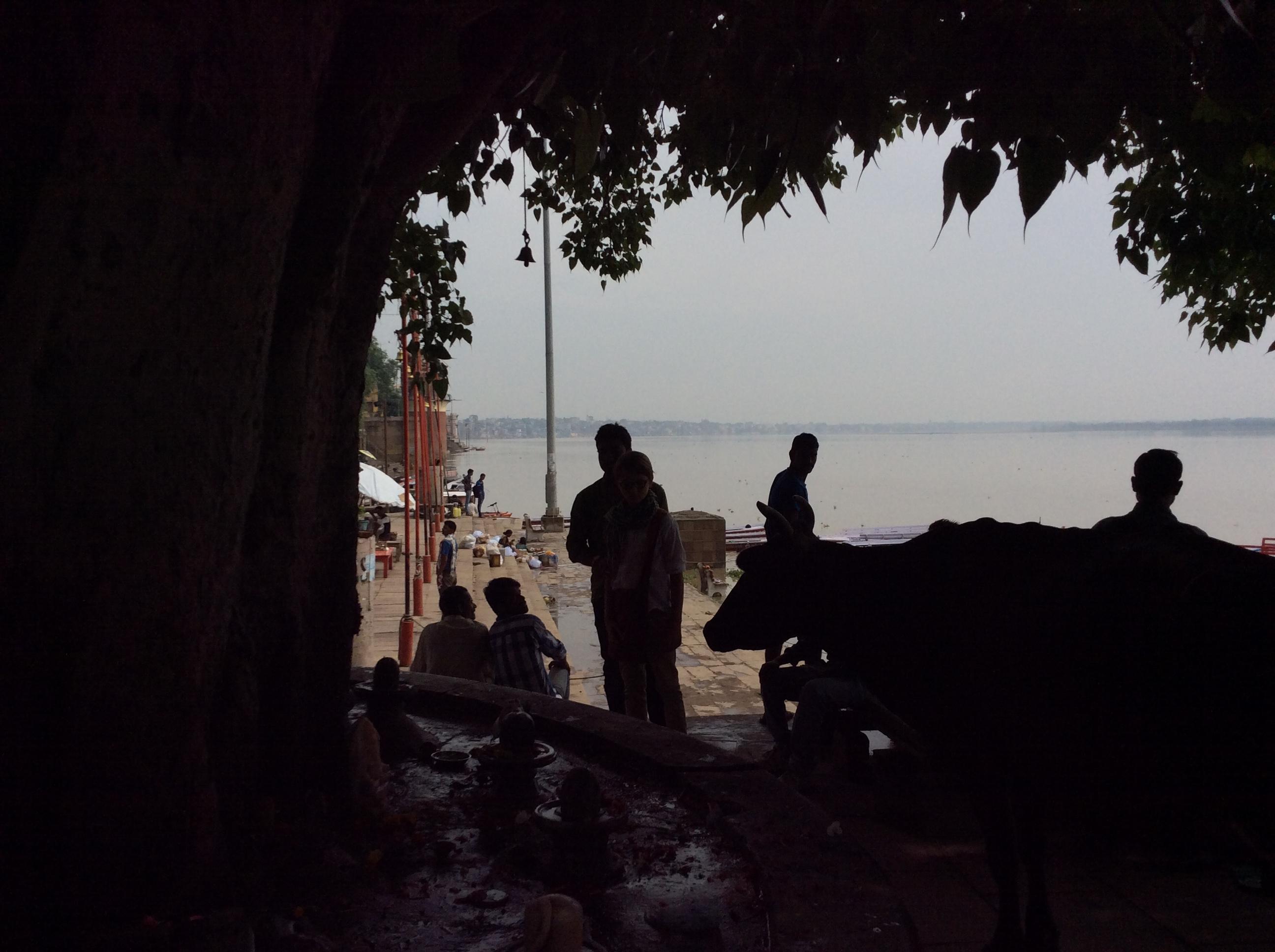 Die Kuh unter dem Banyan Baum...
