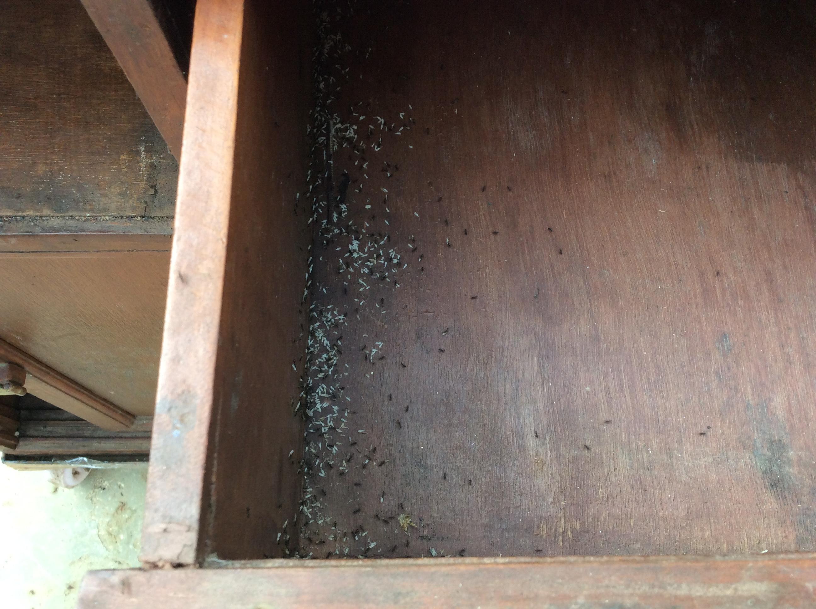 In der Schublade einer alten Kommode lebt ein Ameisenvolk, dass panisch den Nachwuchs in Sicherheit bringt, als wir die Schublade aufziehen.